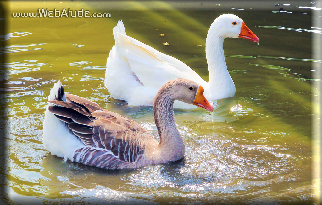 webatude,photographer,photography,photographers,wedding,event,weddings,events,camera,picture,nature,cameras,pictures,duck,ducks,park,new orleans,la,louisiana,marketing,internet marketing,seo,video marketing,picture marketing,birds,bird,jimmy pecoul,james